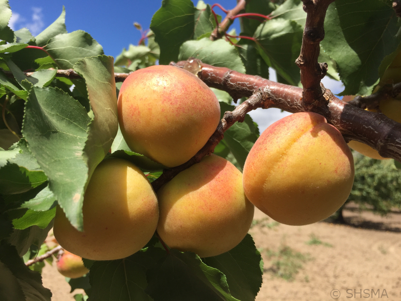 Apricots Close Up, June 11, 2017