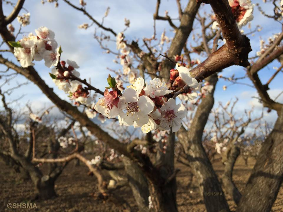 Close up of the apricot flowers, March 8, 2015