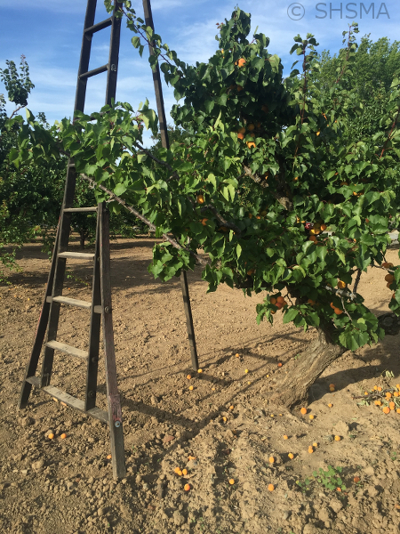 Orchard ladder, June 6, 2016