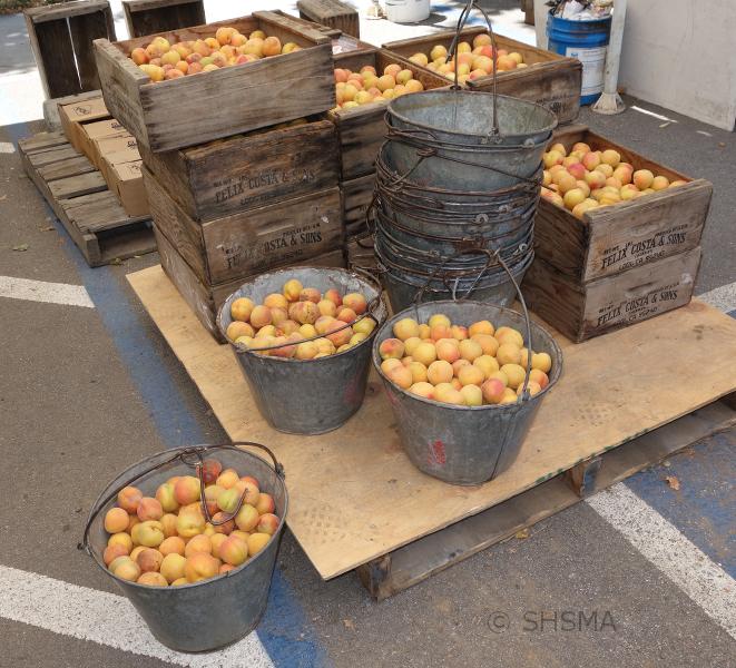pails of apricots, June 21, 2015