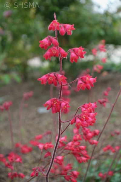 Coral Bells, March 26, 2017