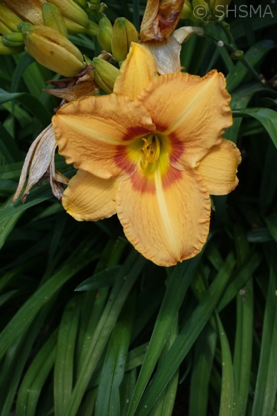 Daylily, May 28, 2017