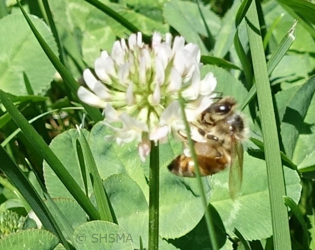 Honeybee on white clover in the lawn in front of the museum, July 21, 2016