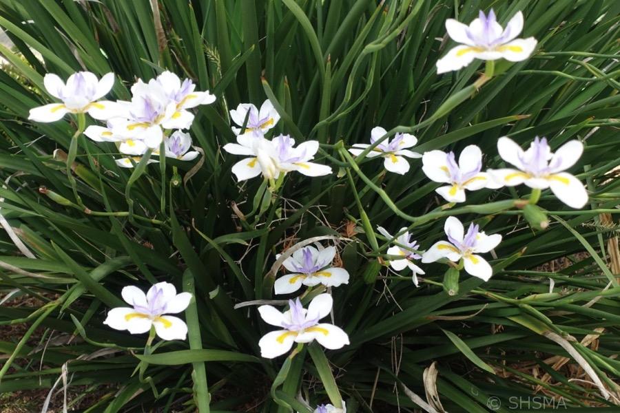 Irises, May 28, 2017