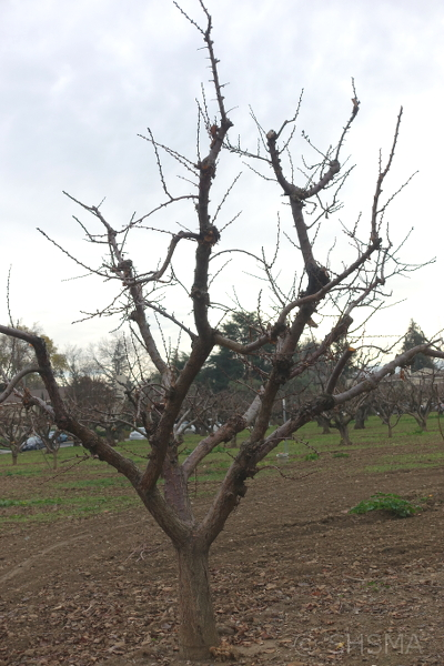 Bare Apricot Tree, January 7, 2018