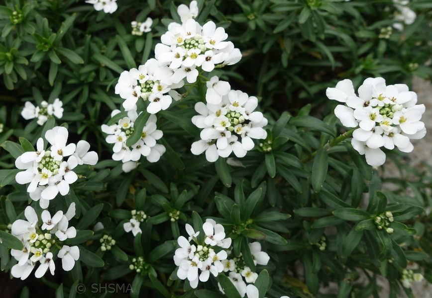 Candytuft, January 7, 2018