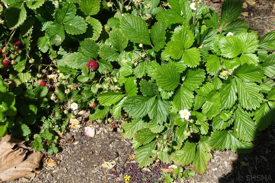 Strawberries, May 1, 2018