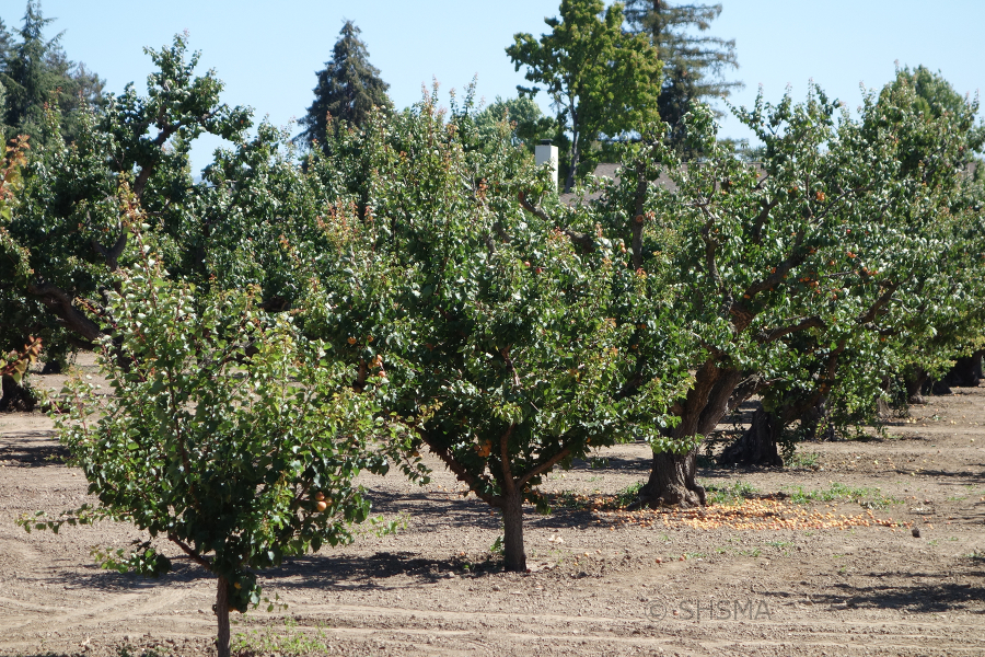Row of apricot trees with fruit, June 21, 2015