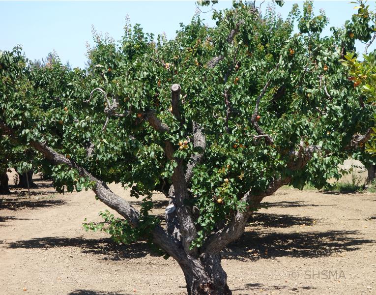 Apricot Tree full of fruit, June 16, 2015