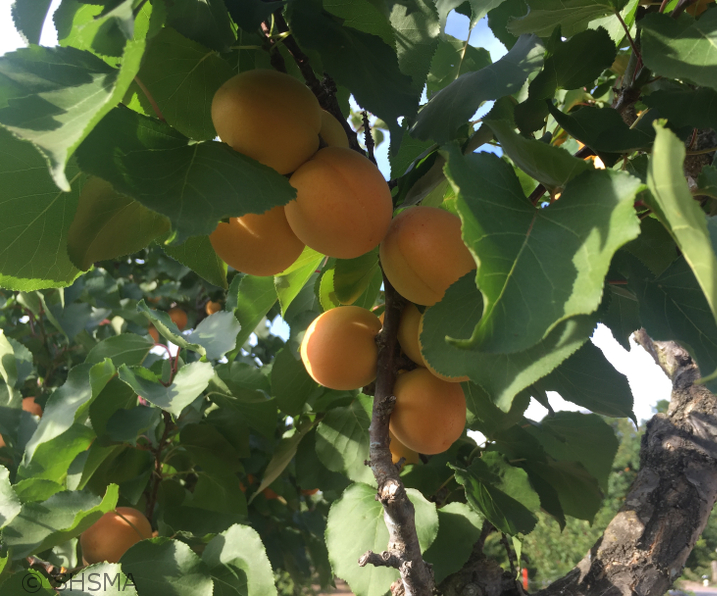 Apricots ready to pick, June 6, 2016
