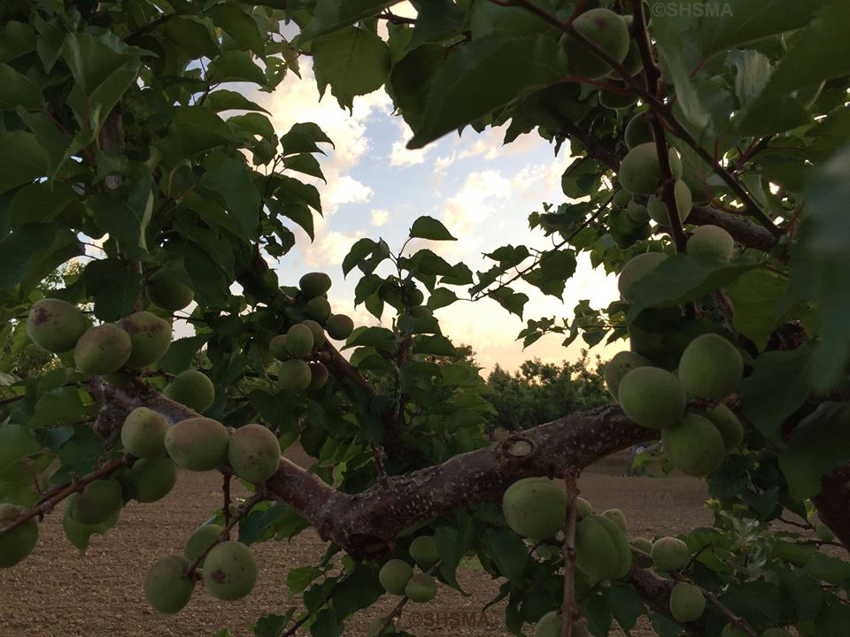 Green Apricots, May 10, 2015