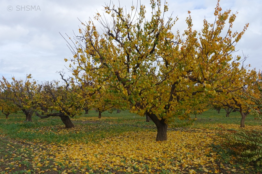Bright yellow leaves falling, December 10, 2015