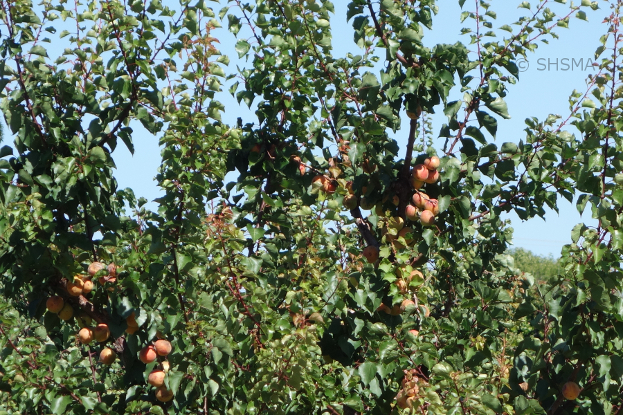 Ripe apricots on a tree, June 21, 2015