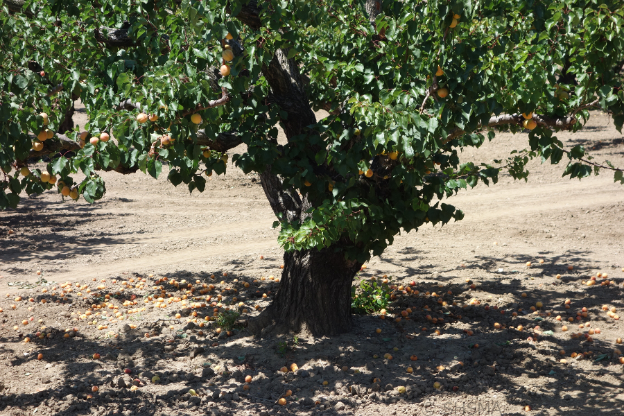 Apricots on another tree and on the ground, June 16, 2015