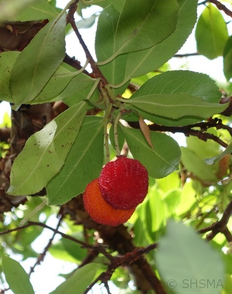 Ripe Strawberry Arbutus Fruits, September 24, 2017