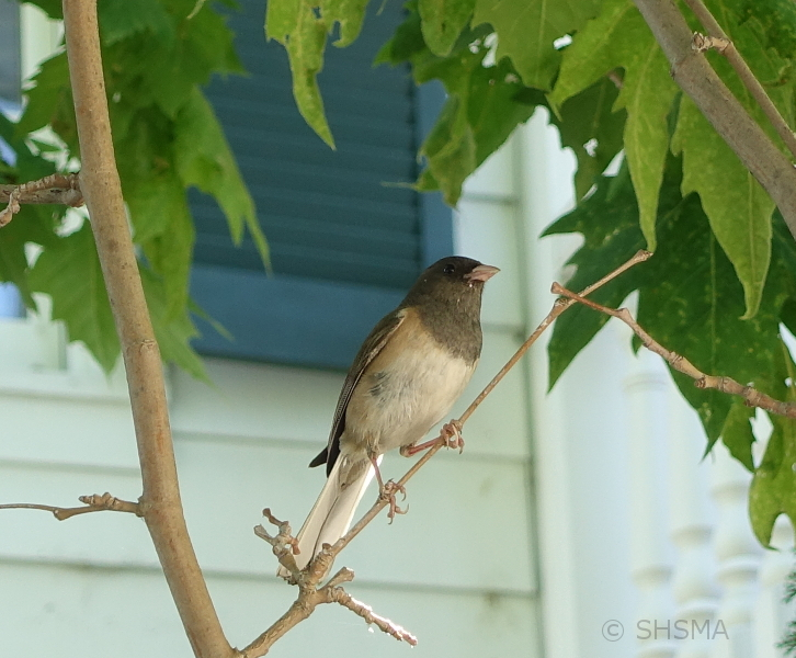 Junco on tree in front of museum, June 22, 2017
