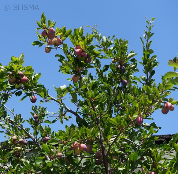 Plum fruits - July 3, 2016