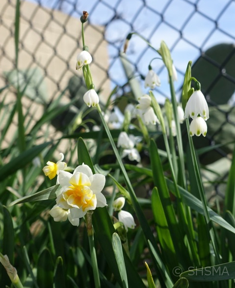 Winter Bulbs, January 29, 2017