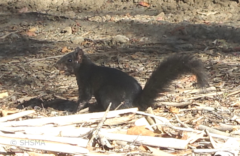 Black Squirrel, October 14, 2018